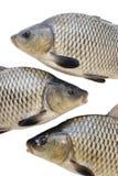 stora fiskar Royaltyfria Bilder