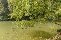 Stora fiskar i sjön på villan Reale parkerar, Monza, Italien Arkivfoton
