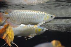 stora fiskscleropages arkivbild
