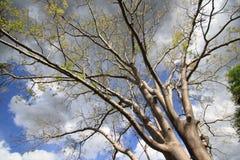 stora fjädertrees Royaltyfri Fotografi