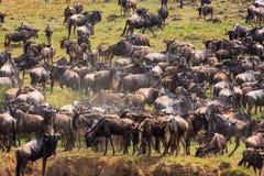Stora flockar på kusterna av Mara River Kenya Afrika royaltyfri foto