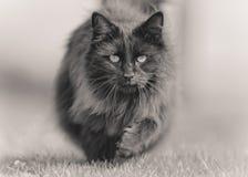 Stora fluffiga svarta Cat Trotting arkivbild