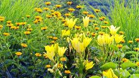 Stora frodiga gula liljor på en bakgrund av rabatter med små orange blommor Arkivbild