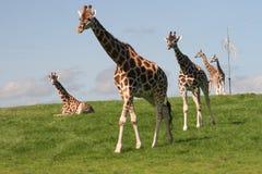 stora giraff går Royaltyfri Foto