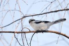 Stora grå färg Shrike på en förgrena sig Royaltyfri Fotografi