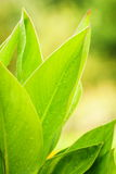 Stora gröna blommasidor Royaltyfri Foto