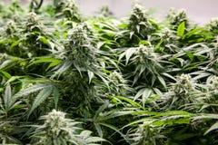 Stora gröna klibbiga knoppar för inomhus marijuana royaltyfri foto