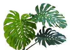 Stora gröna sidor av den monstera- eller dela-blad philodendronen Monst Arkivfoto