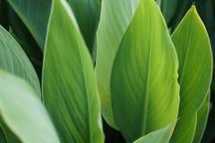 Stora gröna sidor, bakgrund Royaltyfri Fotografi