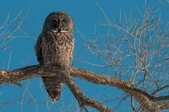 Stora Gray Owl royaltyfri fotografi
