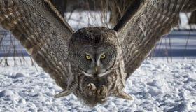 Stora Gray Owl royaltyfri bild