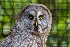 Stora Gray Owl eller stor Grey Owl Strix nebulosa Fotografering för Bildbyråer