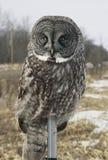 Stora Gray Owl Perching On Pole Arkivbild