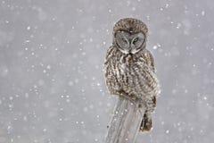 Stora Gray Owl, Strixnebulosa som stirrar Arkivbilder