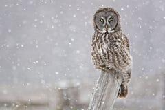 Stora Gray Owl, Strixnebulosa som stirrar på tittaren Royaltyfri Foto