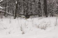 Stora Grey Ow i flykten Arkivfoton