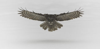Stora Grey Ow i flykten Arkivfoto