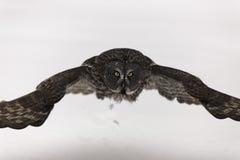 Stora Grey Ow i flykten Fotografering för Bildbyråer