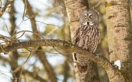 Stora Grey Owl i ett träd i vinter Arkivbild