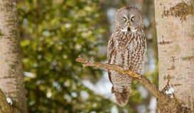 Stora Grey Owl i ett träd i vinter Arkivfoton