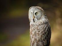 Stora Grey Owl i natur Arkivbilder