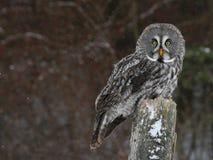 Stora Grey Owl och Copyspace Fotografering för Bildbyråer