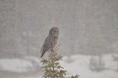 Stora Grey Owl sätta sig i en storm för den kanadensareRocky Mountain vintern Royaltyfri Foto