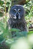 Stora Grey Owl Skansen Park Stockholm Sweden Arkivbild