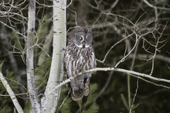 Stora Grey Owl som sätta sig i en skog Arkivbild