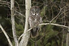Stora Grey Owl som sätta sig i en skog Arkivbilder