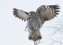 Stora Grey Owl (Strixnebulosaen) Royaltyfri Fotografi
