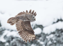 Stora Grey Owl (Strixnebulosaen) Arkivbild