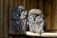 Stora Grey Owls royaltyfri foto