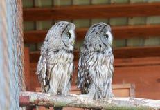 Stora Grey Owls Portrait Arkivfoto