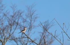 Stora Grey Shrike (Laniusexcubitoren) Arkivfoton