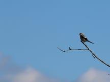 Stora Grey Shrike (Laniusexcubitoren) Royaltyfria Bilder