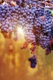 Stora grupper av rött vindruvor hänger från en vinranka Royaltyfria Bilder