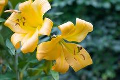 Stora gula liljor i trädgården Slapp fokus arkivbilder