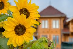 Stora gula solrosor Arkivfoto