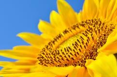 Stora gula solrosor i fältet mot den blåa himlen Jordbruks- växtcloseup Sommar blommar familjasteraceaen royaltyfria foton
