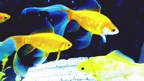 Stora guld- fiskar simmar i vatten arkivfilmer
