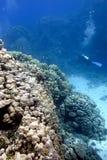 Stora hårda koraller med dykare på underkanten Arkivfoto