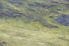 Stora hörda fo-Guanacos som går upp a-kullen Arkivbild