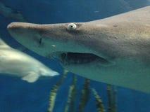 Stora hajar som simmar i vatten på ett akvarium med annan fisk Arkivbild