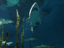 Stora hajar som simmar i vatten på ett akvarium med annan fisk Royaltyfria Foton