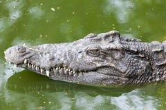Stora head Crocodyluspolustris stänger sig upp i den Thailand floden krokodil som är klar att slå Royaltyfri Bild