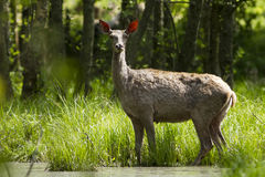 Stora hjortar royaltyfri bild