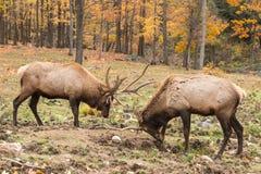 Stora hjortar i en nedgångskog Royaltyfria Bilder