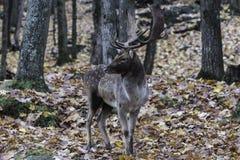 Stora hjortar i träna Royaltyfria Bilder
