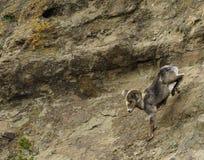 Stora horn- får på våren Royaltyfri Fotografi